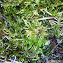Moss/ P. Sheberi