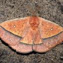 'Decachorda moth'