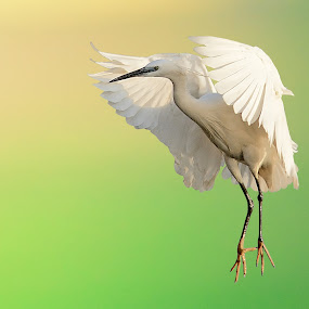 The cattle egret (Bubulcus ibis) by Mohamed Mahdy - Animals Birds ( animals, zoom, white bird, wildlife, 55-300, nikon, natural, birds,  )