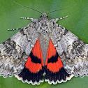 Semirelict Underwing Moth