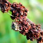 Star-bellied Orb Weaver Spider