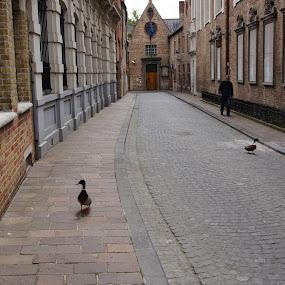 City dwellers by Pavel Laberko - City,  Street & Park  Street Scenes ( street, old city, ducks, road, pavement, Urban, City, Lifestyle )