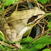 Agile frog, obična šumska žaba