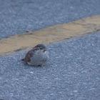 House Sparrow (juvenile)