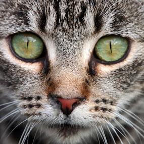 Beautiful cat by Kirsten Gamby - Animals - Cats Portraits ( , #GARYFONGPETS, #SHOWUSYOURPETS )