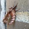 Silkworm moth