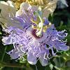 Maypop Bloom
