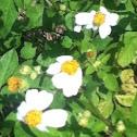 """daisy"" weeds"