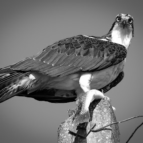 Don't Stare at Me While I'm Eating by Jared Lantzman - Black & White Animals ( bird, wings, osprey,  )