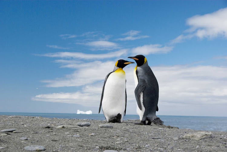 Two king penguins — the second largest species of penguin — are photographed during a G Adventures expedition of South Georgia, Antarctica.