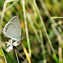 Grey Buttefly