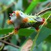 Cupmoth caterpillar