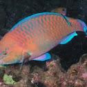 Regal parrotfish