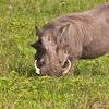 Warthog (w/piglet)
