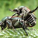 Japanese Beetles (mating)