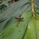 Multicolored Grasshopper