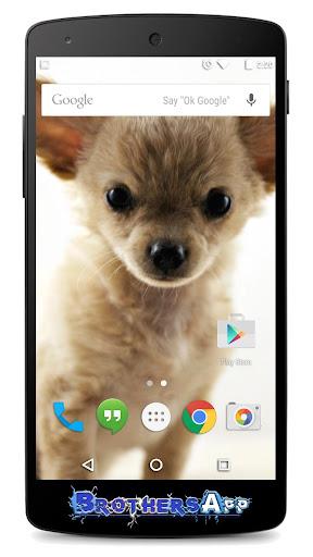 Chihuahua Background
