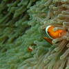 False Anemone Fish