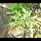 Black Caterpillar Fern