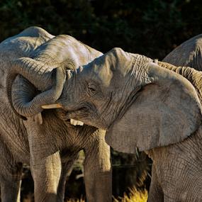 Young elephants by Cristobal Garciaferro Rubio - Animals Other Mammals ( elephants, elephant, young elephants )