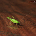 uncertain katydid