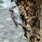 Nutalls Woodpecker(Female)
