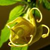 Golden Angel Trumpet(Floripondio)
