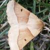 Scalloped Oak