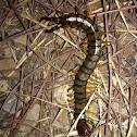 Mediterranean centipede