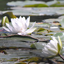 Sweet-scented Water Lily