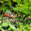 Hoatzin with two chicks