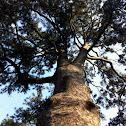 Chinese Pine