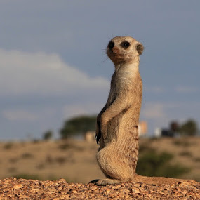 Meerkat in a typical lookout pose by Jo-Ann de Smit - Animals Other Mammals