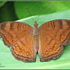 Brown Pansy Butterfly