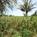 Maize (corn) plants