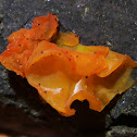 Orange Peel Fungus