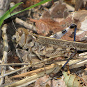 Big-headed Grasshopper