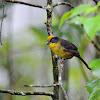 Tricolored Brush Finch