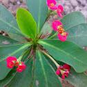 (Crown-of-thorns or Christ Plant)-ايفوربيا شوكة المسيح