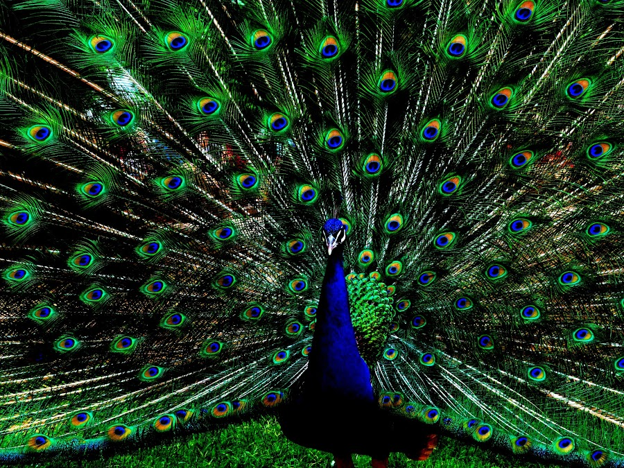 Show off!  by Deb Bulger - Animals Birds ( colorful, feathers, birds, peacock,  )