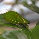 Small bottle cicada