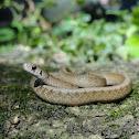 DeKay's Snake