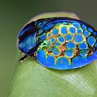 Imperial Tortoise Beetle