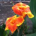 canna lily cultivar