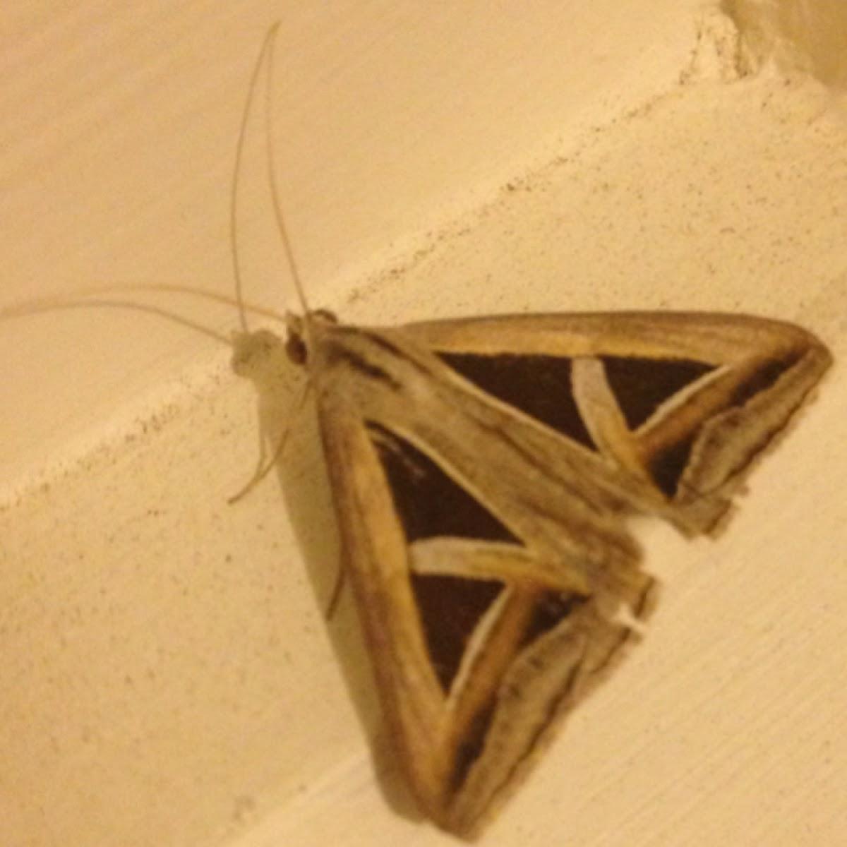 Semi Looper Moth