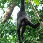 Black-Headed Spider Monkey