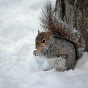 Friendly Squirrel by James Reil - Animals Other Mammals ( winter, snow, nuts, new york, squirrel )