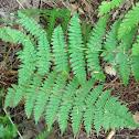 Intermediate wood fern