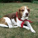 Tricolour Beagle