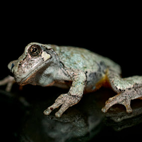Tree Frog by Lisa Wessels - Animals Amphibians ( macro, reflection, green, tree frog, night )